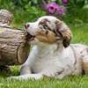 Australian Shepherd puppy chewing on a log.