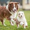 Australian Shepherd puppy running followed by adult Aussie.
