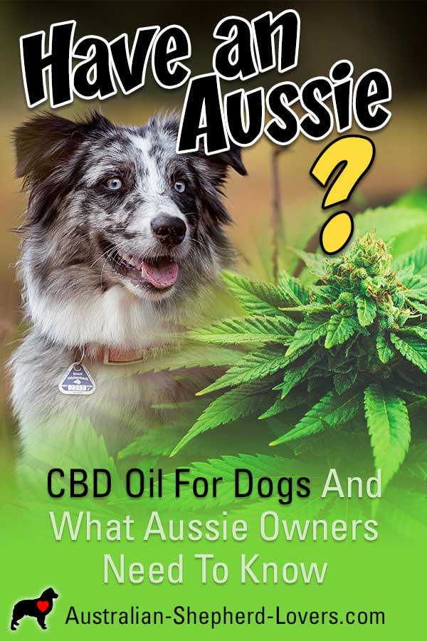 CBD oil for dogs, otherwise known as cannabidiol, may help to ease a number of symptoms of various illnesses. Let's take a closer look at the potential benefits to your dog's health and wellbeing. #australianshepherd #cbd #cbdoil #doghealth #aussielovers