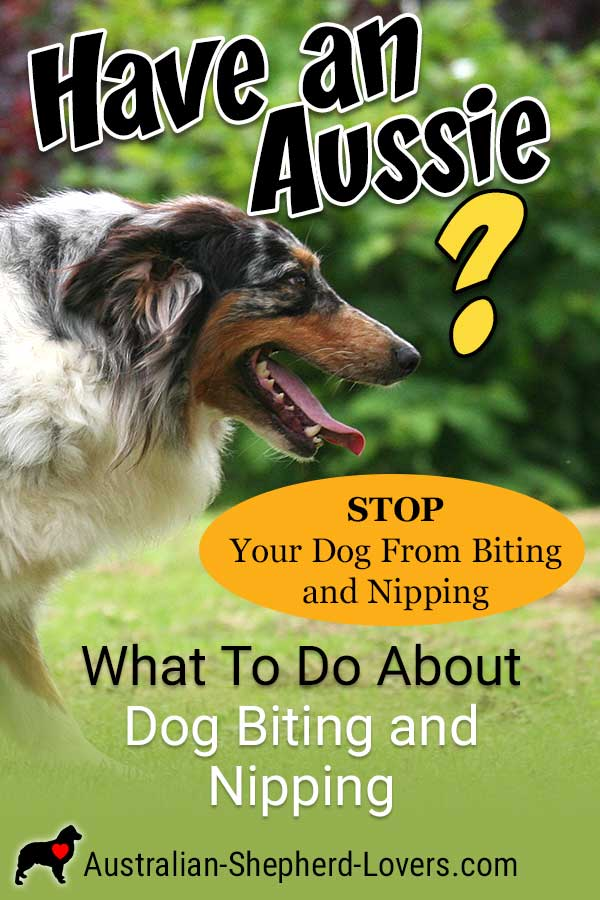 Is Your Dog Biting And Nipping Due To Herding Instinct? How to successfully stop this bad behavior in your dog. #australianshepherd #dognipping #puppynipping #dogbiting #aussielovers