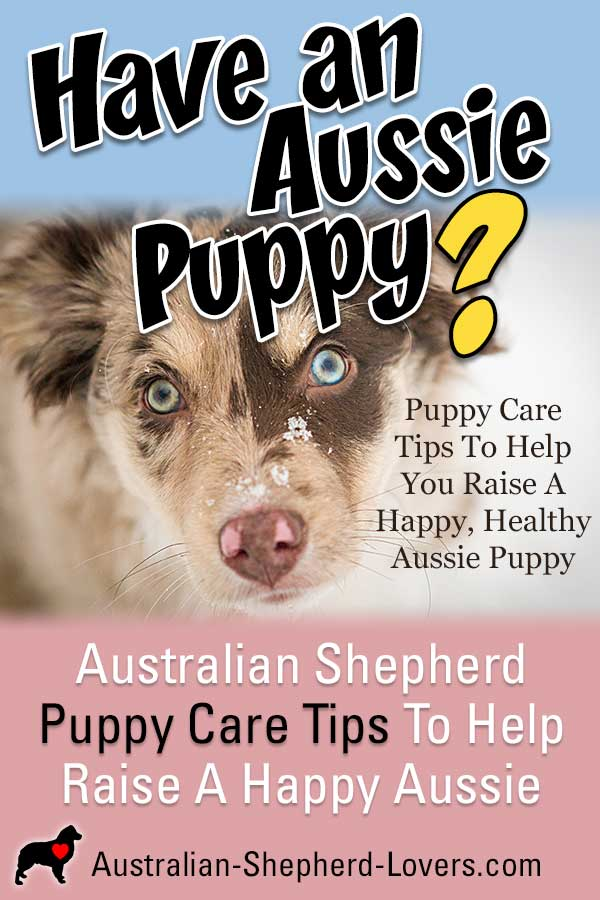 Puppy care tips to raise a happy Australian Shepherd puppy. The best dog food, feeding practices for your Aussie puppy's health and puppy training from potty training to socialization and obedience. #australianshepherd #australianshepherdpuppy #puppycare #puppycaretips #aussielovers
