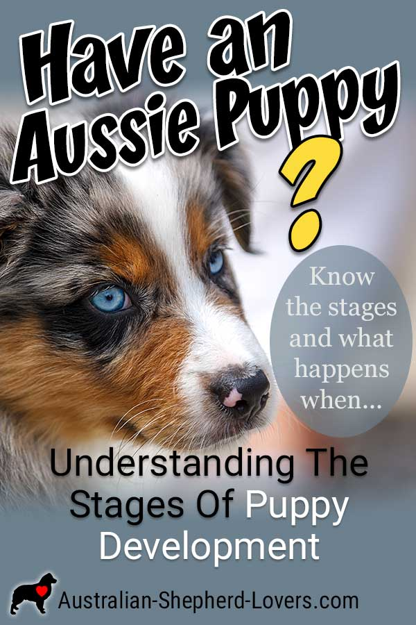 With puppy development the first years of life are extremely influential so it's vital to know the stages and what happens when. #australianshepherd #puppydevelopment #puppystages #aussielovers