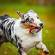Exercise Induced Collapse Vs. Border Collie Collapse in Australian Shepherds