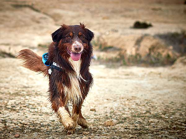 Australian Shepherd Dog Photo of the Month