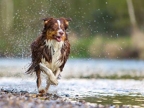Red tri Australian Shepherd running along river.