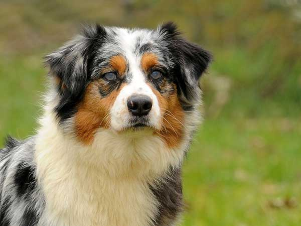 Australian Shepherd dog with cataracts standing in field.