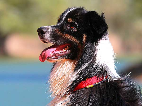 Photo for Cool Dog Collars Article featuring Australian Shepherd sporting a red collar.