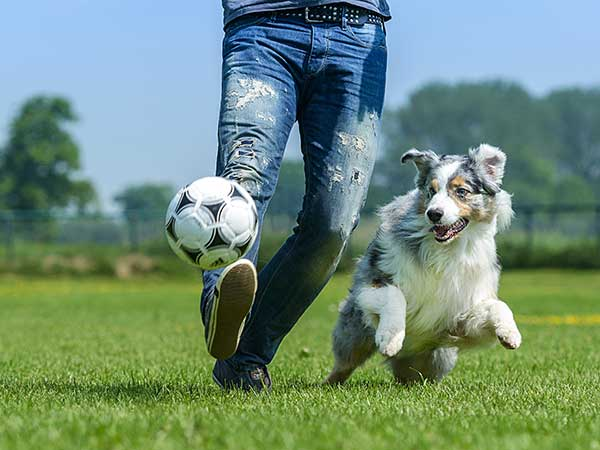 Blue merle Australian Shepherd chasing soccer ball with young man in blue jeans.