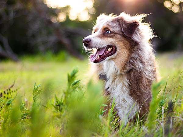 Happy Australian Shepherd in tall grass.
