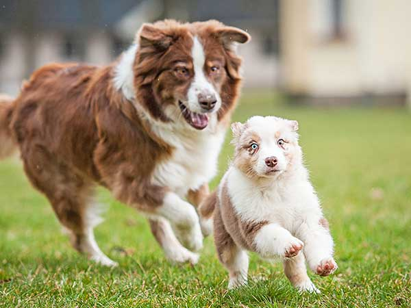 Diabetes In Dogs Article: Photo of Australian Shepherd puppy running followed by adult Aussie.
