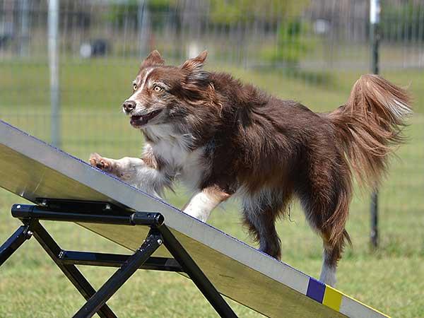Australian Shepherd traversing dog agility seesaw.