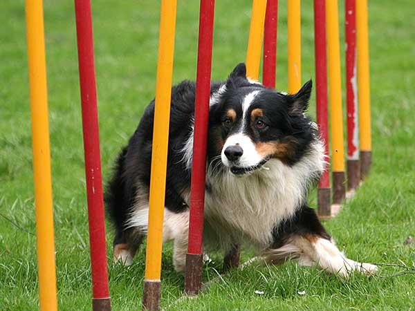 Australian Shepherd running weave poles.