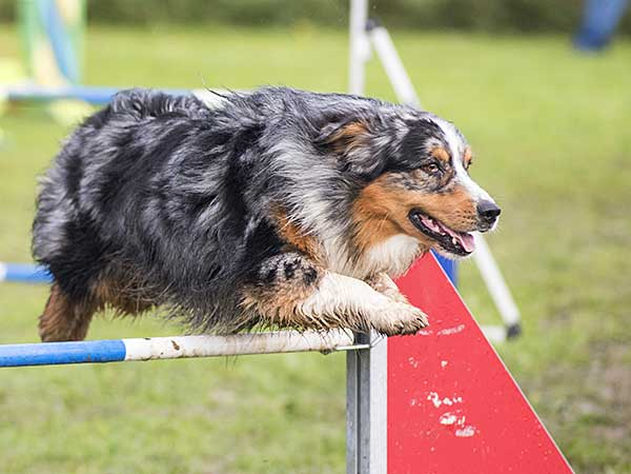 Blue merle Australian Shepherd with doing agility dog training with owner.