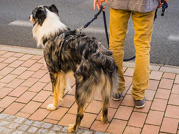 Australian Shepherd standing on sidewalk with owner.