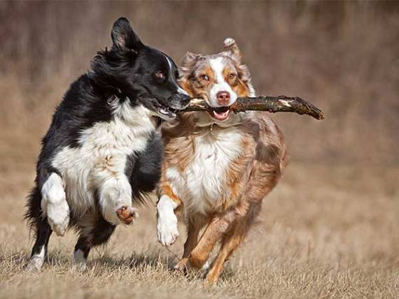 Photo for Dog Chewing Paws Article showing Australian Shepherds running with stick.