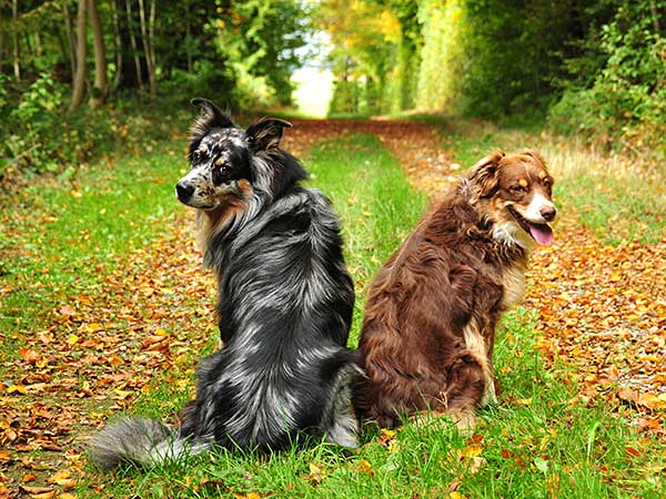 Photo for Dog Chewing Tail Article showing blue merle and red merle Australian Shepherds.