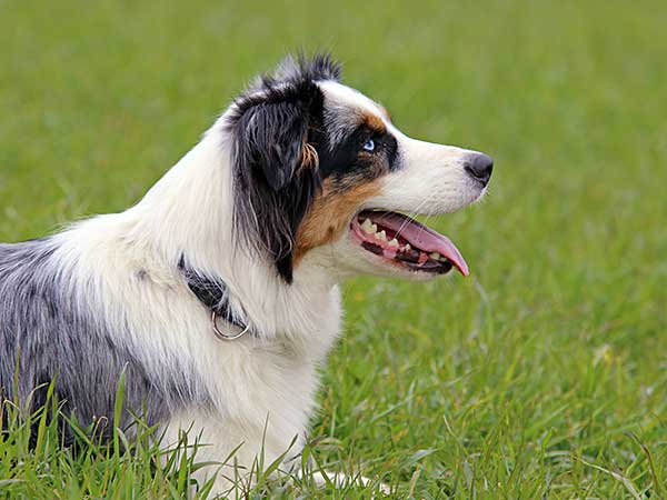 Photo for Dog Collars and Harnesses Article featuring Australian Shepherd sporting a sturdy collar.
