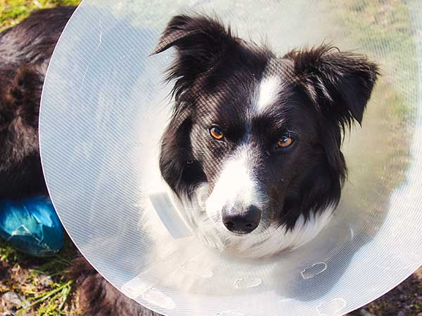 Alternatives To The Dog Cone Of Shame For Your Australian Shepherd - Photo: Border Collie wearing a dog cone.