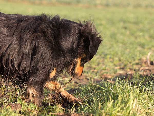 How To Stop Dog Digging Behavior In Your Australian Shepherd - Photo: Dog digging hole in lawn.