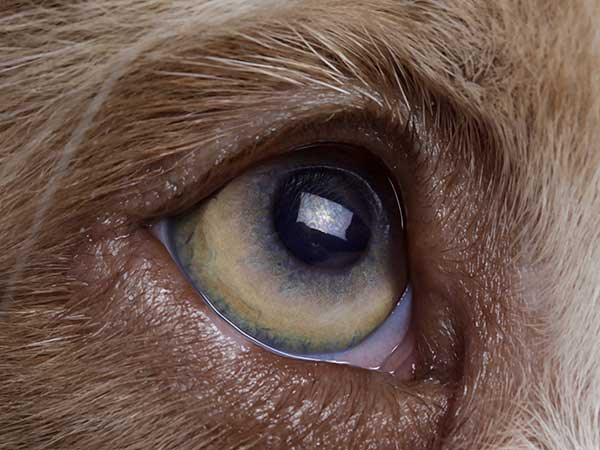 Close-up of an Australian Shepherd's eye.