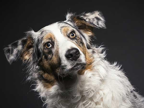 Photo for Dog Flatulence article showing Australian Shepherd with black background.
