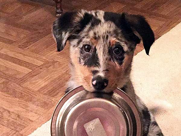 Australian Shepherd puppy carrying empty dog food bowl.