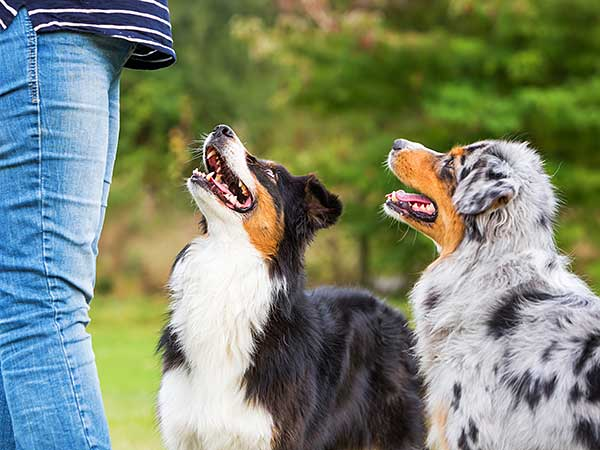Two Australian Shepherds looking to their owner.