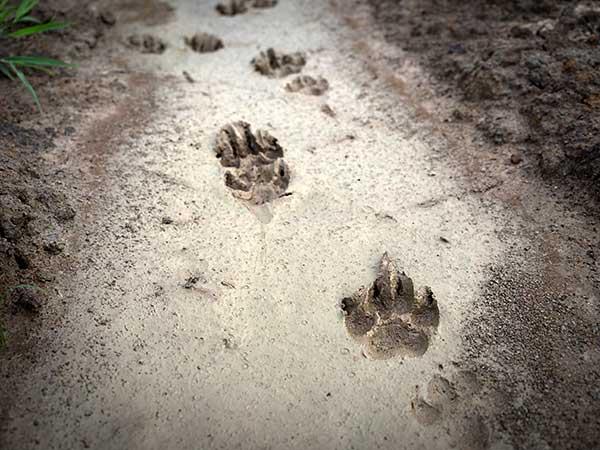 Dog tracks in mud.