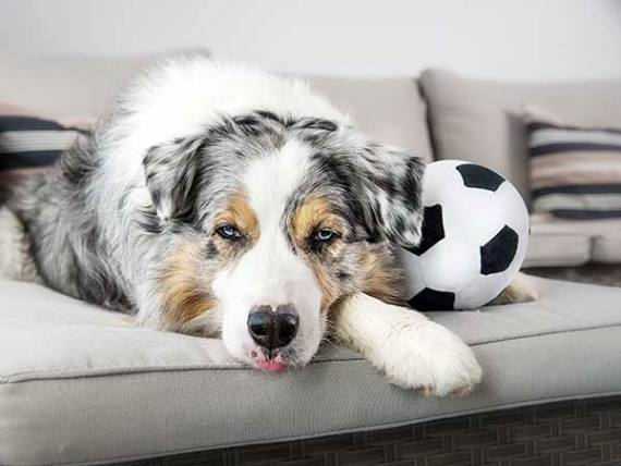 Bored Australian Shepherd on couch with soccer ball.