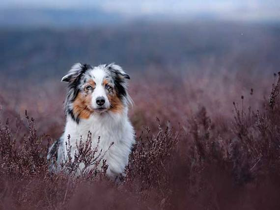 Dog Quotes Just For Fun - Photo: Australian Shepherd in field of flowering Heather.