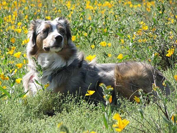 Australian Shepherd laying in field with yellow flowers.