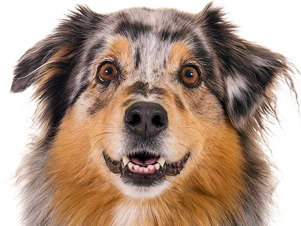 Australian Shepherd appearing to smile showing front teeth.