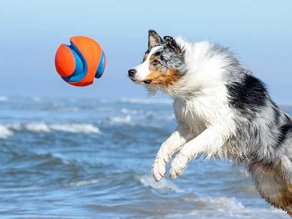 Australian Shepherd at beach jumping for Chuckit Kick Fetch Toy Ball.