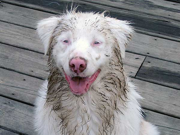 Kya, a female double merle Australian Shepherd.