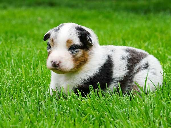 Australian Shepherd puppy laying on grass.