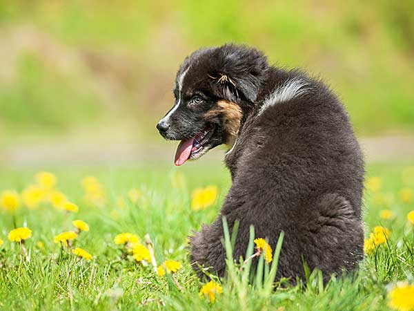 Australian Shepherd puppy sitting in a field with dandelions.