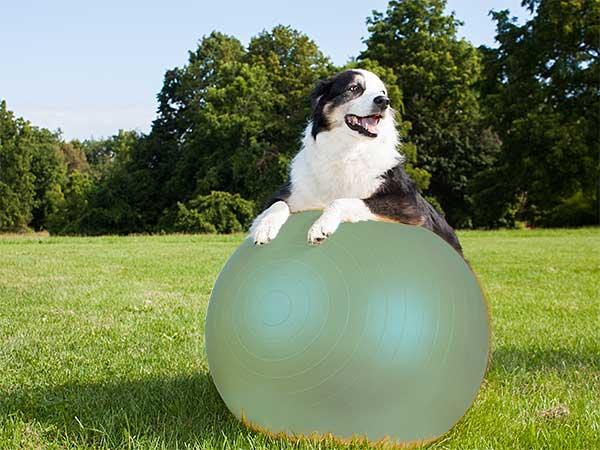Australian Shepherd on a treibball ball.