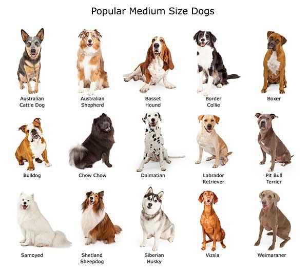 Popular Medium Size Dogs