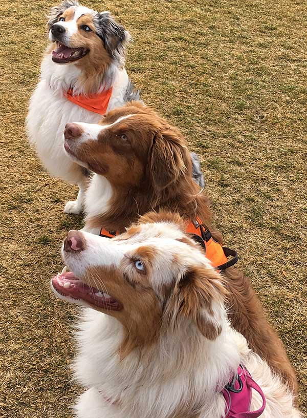 Australian Shepherd Photo of the Month — Photo: Della, Aussies: Lily, Maggie, and Daisy Mae — Visit the site for all things Aussie from training to puppy care tips, from dog nutrition and health tips to Aussie artwork and cartoons—and more.  #australianshepherd #dogphotography #aussie #aussielovers