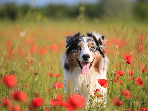 Blue merle Australian Shepherd in a field with red flowers.