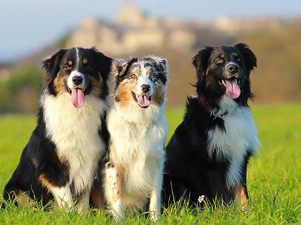 Is The Australian Shepherd The Right Breed For You