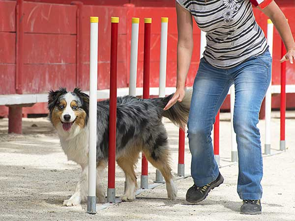 Blue merle Australian Shepherd with doing agility dog training with owner.