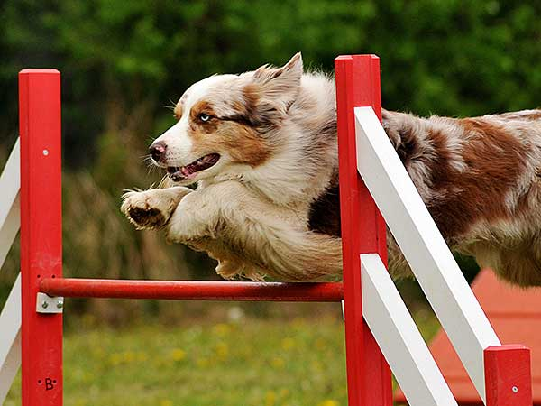 Red merle Australian Shepherd jumping over bar jump.