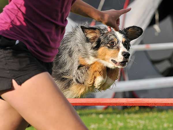 Handler with Australian Shepherd clearing bar jump at agility trial.