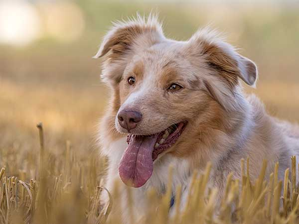 Australian Shepherd laying in a meadow.