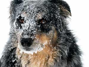 "Australian Sheperd ""Snow"" Picture"