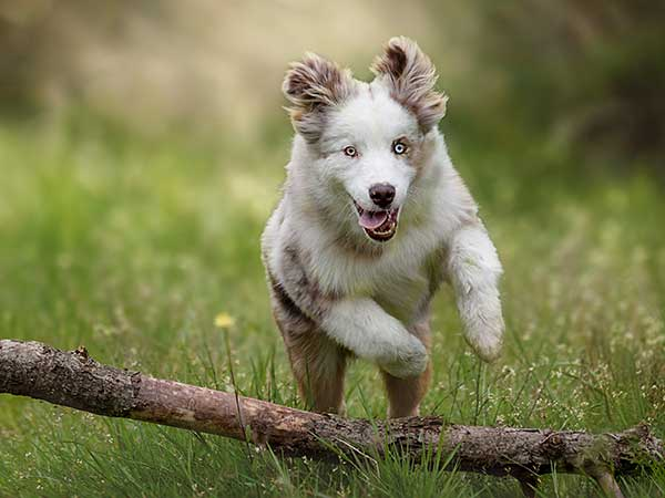 Australian Shepherd Photo of the Month — Photo: manuphotography61, Aussie: Sam — Visit the site for all things Aussie from training to puppy care tips, from dog nutrition and health tips to Aussie artwork and cartoons—and more. #australianshepherd #dogphotography #aussie #aussielovers