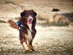 Australian Shepherd Photo of the Month
