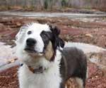 Australian Shepherd Photo of the Month