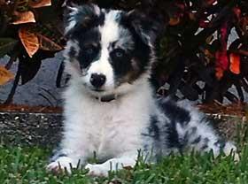 Australian Shepherd Puppy Axel